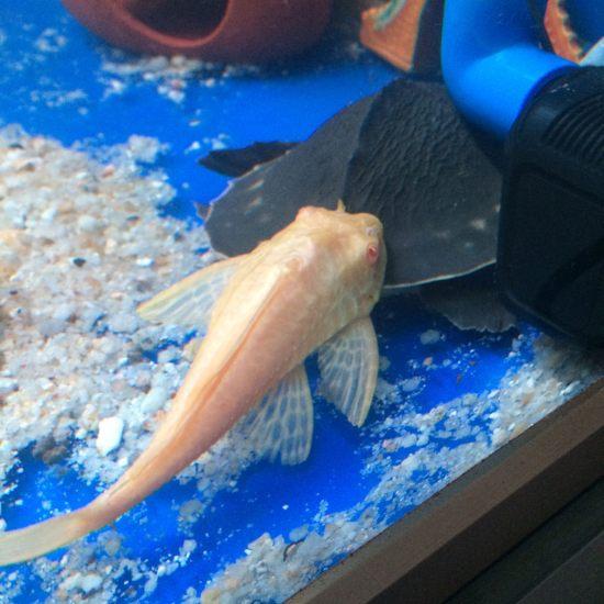 各位前辈,我是新手,请问清道夫给猪鼻龟搓澡需要隔离吗?看样子搓的很舒服? 温州水族批发市场 温州龙鱼第1张
