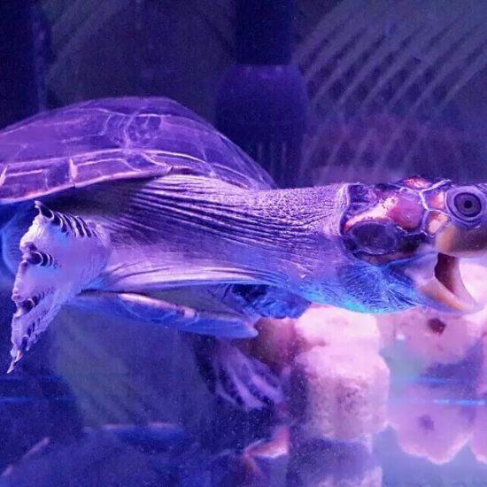 深圳龙鱼我的忍者神龟,巴西龟 深圳龙鱼论坛 深圳龙鱼第1张