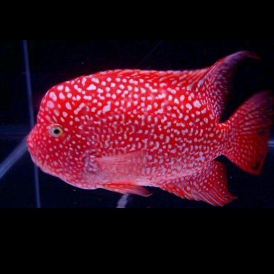 深圳最大鱼缸#我的鱼望#一直想有一条这么的 深圳观赏鱼