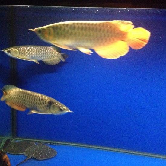 深圳最大鱼缸#我的鱼望#希望它们不再打架 和平共处健康成长 深圳龙鱼论坛 深圳龙鱼第2张