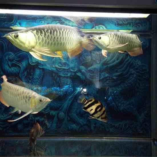 #我的鱼望#不要打架,和平相处,健康长大。 营口观赏鱼 营口龙鱼第2张