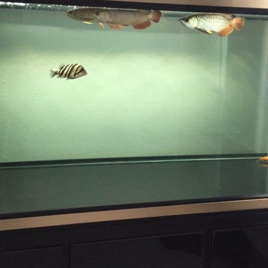 #我的鱼望#三龙一虎,一米五缸 温州水族批发市场 温州龙鱼第1张