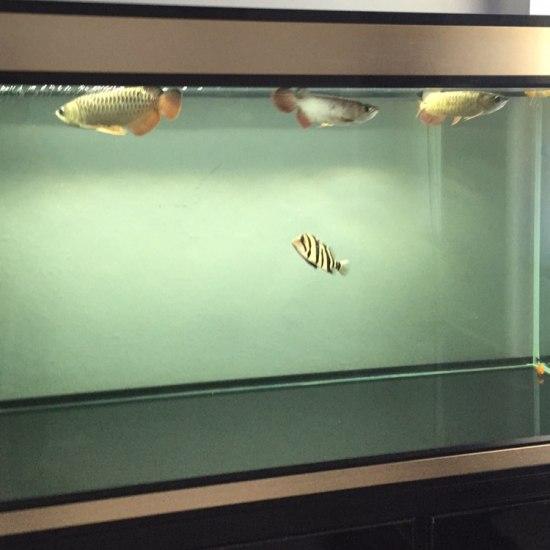 #我的鱼望#三龙一虎,一米五缸 温州水族批发市场 温州龙鱼第2张