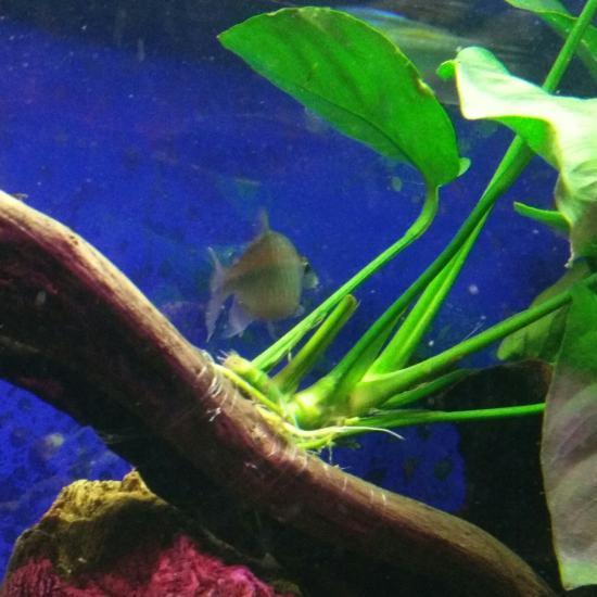 扯旗养了能有半年了,最近发现有一条有点不对劲,不吃食,而且总是自己呆在角落,腹部 深圳观赏鱼 深圳龙鱼第3张