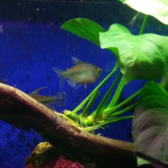 扯旗养了能有半年了,最近发现有一条有点不对劲,不吃食,而且总是自己呆在角落,腹部 深圳观赏鱼 深圳龙鱼第4张