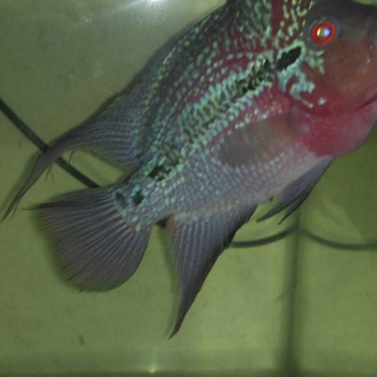请问这是啥品种罗汉? 深圳观赏鱼 深圳龙鱼第1张