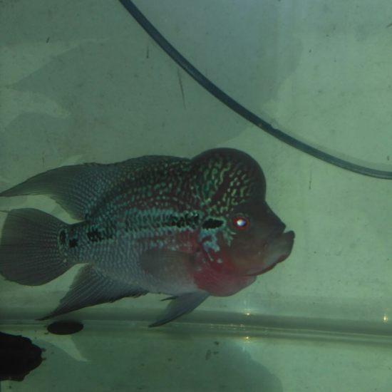请问这是啥品种罗汉? 深圳观赏鱼 深圳龙鱼第2张