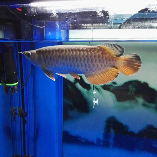 晚上没事,看看鱼,点评一下吧 温州水族批发市场 温州龙鱼第2张