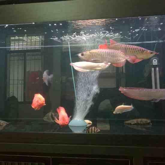 深圳最大鱼缸状态越来越好[aini] 深圳观赏鱼 深圳龙鱼第2张