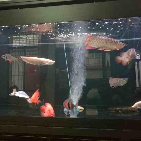 深圳最大鱼缸状态越来越好[aini] 深圳观赏鱼 深圳龙鱼第3张