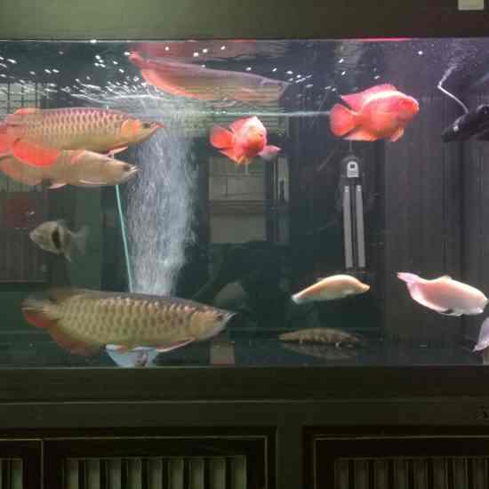 深圳最大鱼缸状态越来越好[aini] 深圳观赏鱼 深圳龙鱼第5张