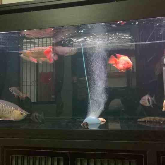 深圳最大鱼缸状态越来越好[aini] 深圳观赏鱼 深圳龙鱼第7张