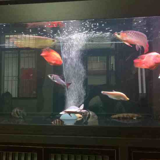 深圳最大鱼缸状态越来越好[aini] 深圳观赏鱼 深圳龙鱼第9张