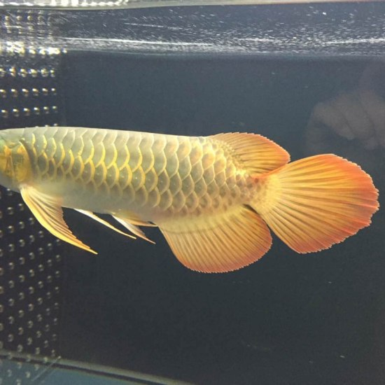 天王限量红龙客户,世界顶级红龙的诠释[se] 温州龙鱼论坛 温州龙鱼第5张