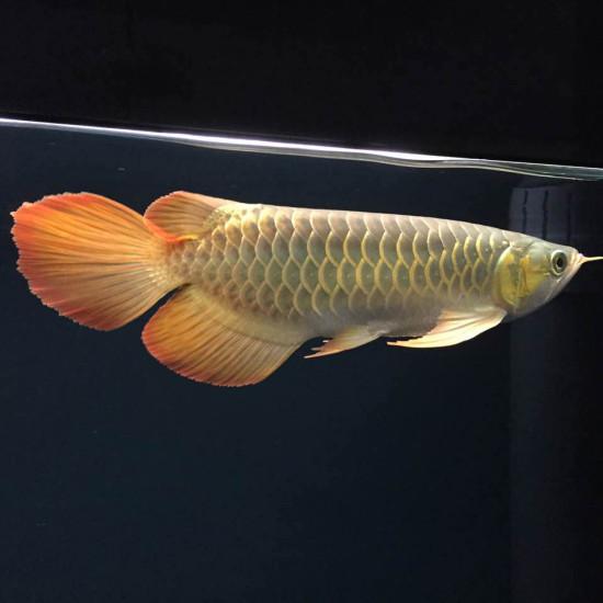 天王限量红龙客户,世界顶级红龙的诠释[se] 温州龙鱼论坛 温州龙鱼第6张