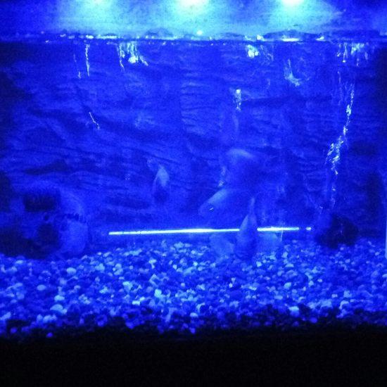 睡前再来一发。晚安各位鱼友。 深圳观赏鱼 深圳龙鱼第4张