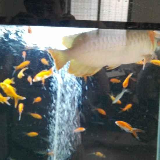 求助:龙鱼今天游得不正常,尾巴那往下掉一样 温州龙鱼论坛 温州龙鱼第1张