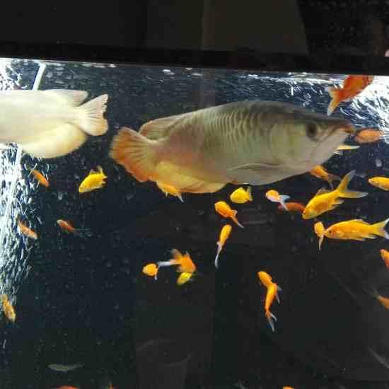 求助:龙鱼今天游得不正常,尾巴那往下掉一样 温州龙鱼论坛 温州龙鱼第3张
