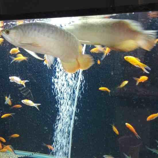 求助:龙鱼今天游得不正常,尾巴那往下掉一样 温州龙鱼论坛 温州龙鱼第4张