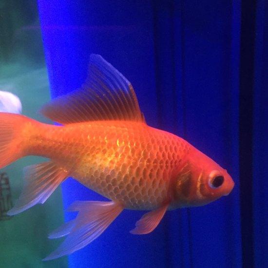 这条鱼是不是病了?看着不正常啊 营口观赏鱼 营口龙鱼第1张