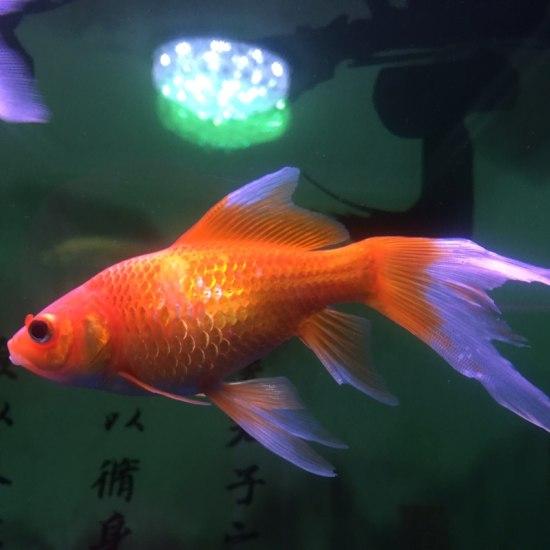 这条鱼是不是病了?看着不正常啊 营口观赏鱼 营口龙鱼第2张
