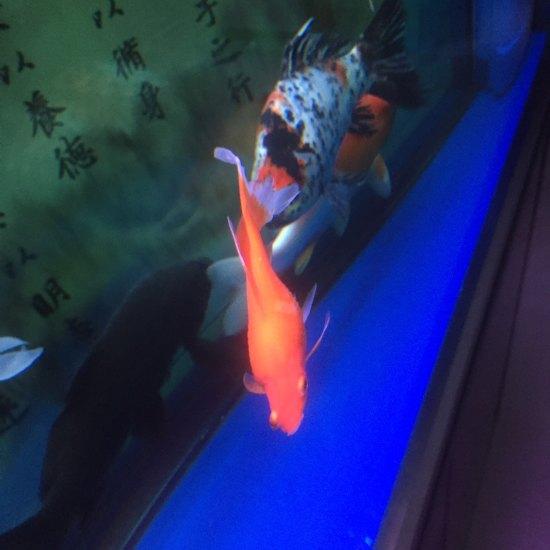 这条鱼是不是病了?看着不正常啊 营口观赏鱼 营口龙鱼第6张