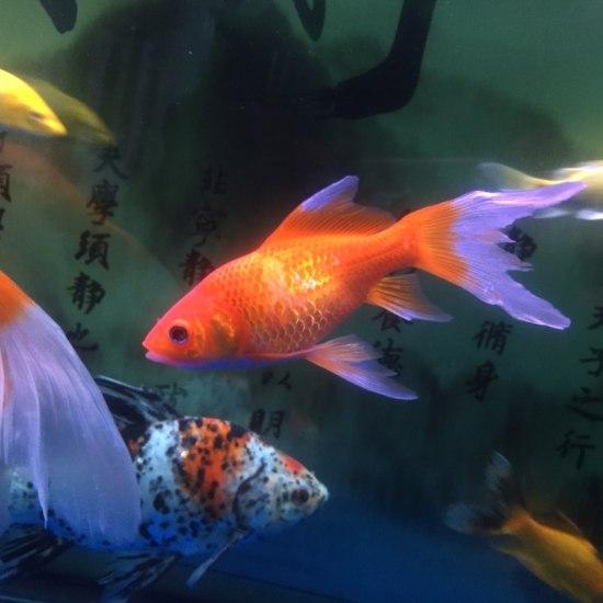 这条鱼是不是病了?看着不正常啊 营口观赏鱼 营口龙鱼第7张