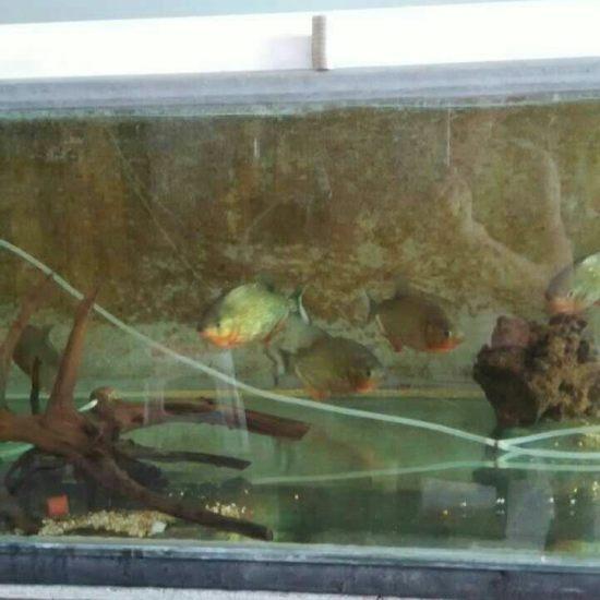 减密度,出几条人工红腹 深圳观赏鱼 深圳龙鱼第1张