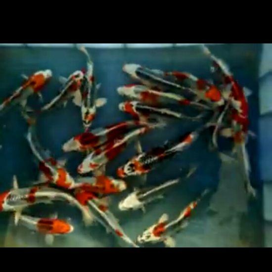 小鱼特别爱插缸子,怎么处理效果好呢,是那种虫和细菌呢,有知道的么 温州龙鱼论坛 温州龙鱼第2张