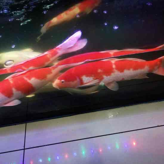 小鱼特别爱插缸子,怎么处理效果好呢,是那种虫和细菌呢,有知道的么 温州龙鱼论坛 温州龙鱼第8张