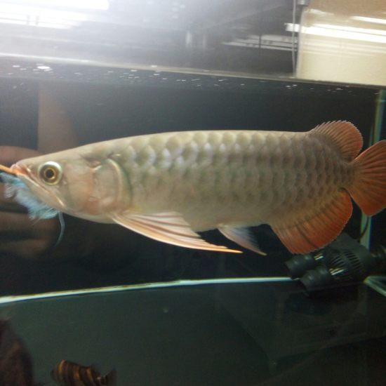 换水中 入缸1个月深圳观赏鱼 深圳观赏鱼 深圳龙鱼第2张