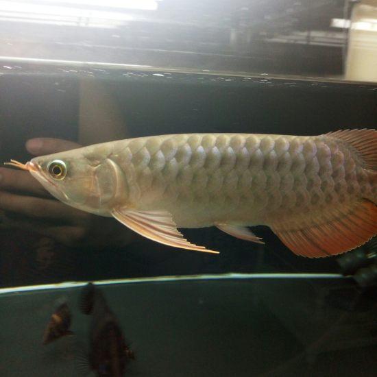 换水中 入缸1个月深圳观赏鱼 深圳观赏鱼 深圳龙鱼第3张