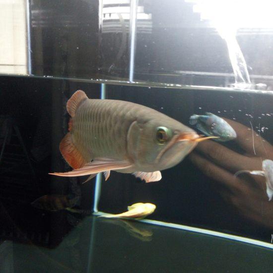 换水中 入缸1个月深圳观赏鱼 深圳观赏鱼 深圳龙鱼第5张