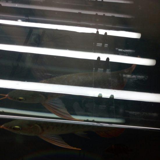 换水中 入缸1个月深圳观赏鱼 深圳观赏鱼 深圳龙鱼第7张