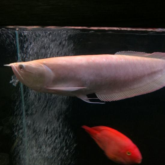 手机拍的,手艺不行[haixiu] 温州水族批发市场 温州龙鱼第7张