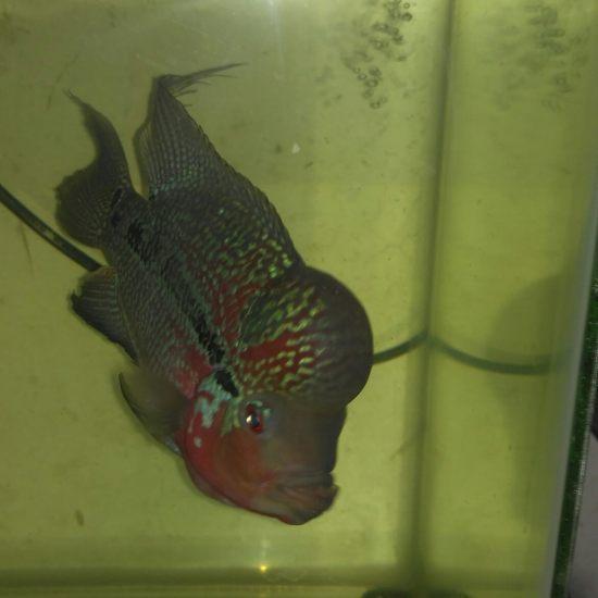 它是我大爷,吃好住好待遇好。 温州水族批发市场 温州龙鱼第2张