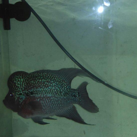 它是我大爷,吃好住好待遇好。 温州水族批发市场 温州龙鱼第6张