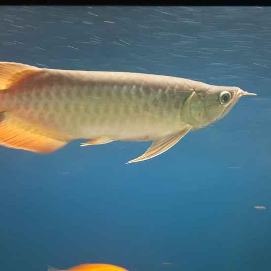 元宝凤凰鱼有几种颜色一个月。。。 元宝凤凰鱼相关 元宝凤凰鱼第2张