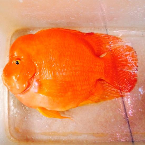 30公分大红财神,出元宝凤凰鱼与关刀 元宝凤凰鱼相关 元宝凤凰鱼第2张