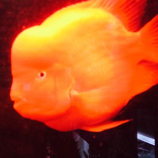 30公分大红财神,出元宝凤凰鱼与关刀 元宝凤凰鱼相关 元宝凤凰鱼第5张