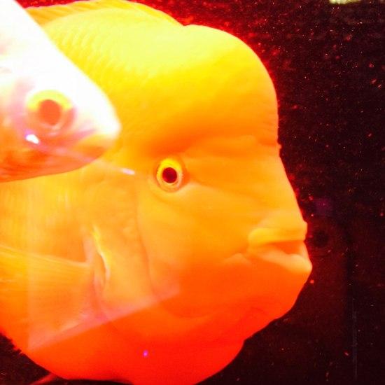 30公分大红财神,出元宝凤凰鱼与关刀 元宝凤凰鱼相关 元宝凤凰鱼第6张