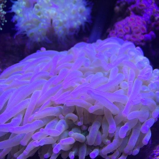 好久没发图了,忙死!需要便宜珊瑚的找我!全新疆第一家做珊瑚海鱼批发的! 元宝凤凰鱼相关 元宝凤凰鱼第5张