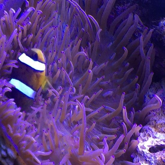 好久没发图了,忙死!需要便宜珊瑚的找我!全新疆第一家做珊瑚海鱼批发的! 元宝凤凰鱼相关 元宝凤凰鱼第8张