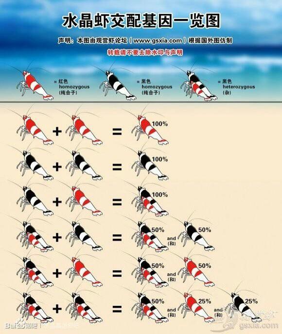水晶虾公母区分(图解)