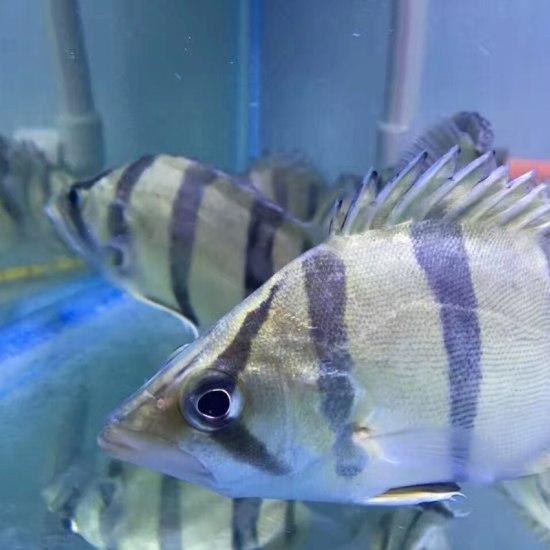 这虎,没毛病 广州观赏鱼批发市场