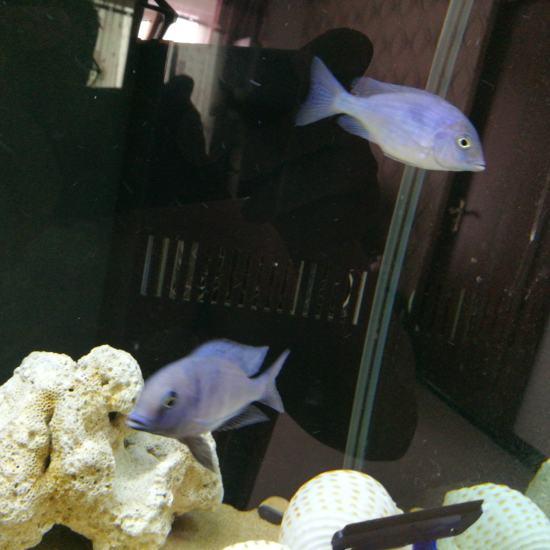 太原鱼缸这俩是一个品种嘛?!!!都是蓝茉莉么?咋感觉不一样呢? 太原龙鱼论坛 太原龙鱼第2张