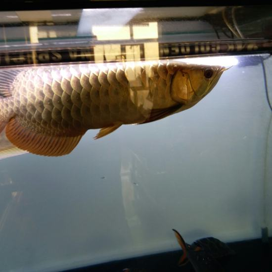 换了鱼缸 头一回看见你是个蓝底[cahan][cahan][cahan] 太原观赏鱼 太原龙鱼第2张
