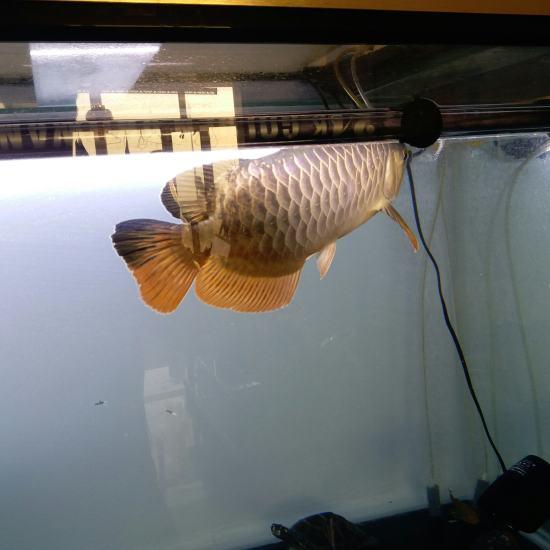 换了鱼缸 头一回看见你是个蓝底[cahan][cahan][cahan] 太原观赏鱼 太原龙鱼第3张