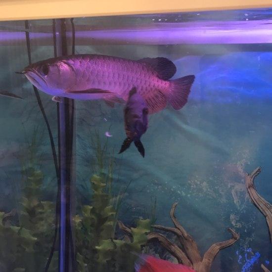 大家给看看这鱼怎么样? 太原龙鱼论坛 太原龙鱼第2张