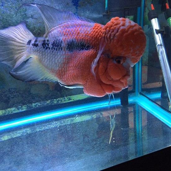 请大家评论一下。 太原观赏鱼 太原龙鱼第2张